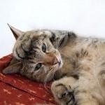 猫の尿路結石(尿道結石)の治療方法